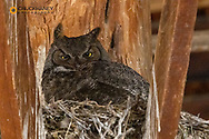 Female Great Horned owl nesting at Peter French Round Barn near Diamond, Oregon, USA