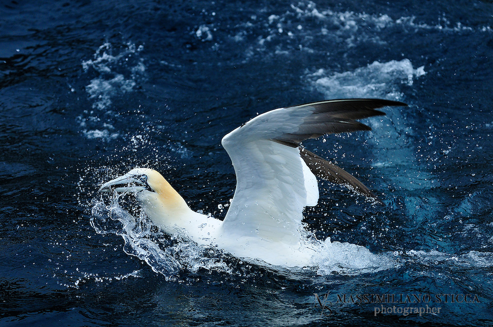 Gannets are seabirds comprising the genus Morus, in the family Sulidae, closely related to the boobies...The gannets are large black and white birds with yellow heads. They have long pointed wings and long bills. Northern gannets are the largest seabirds in the North Atlantic, with a wingspan of up to 2 metres. The other two species occur in the temperate seas around southern Africa, southern Australia and New Zealand.