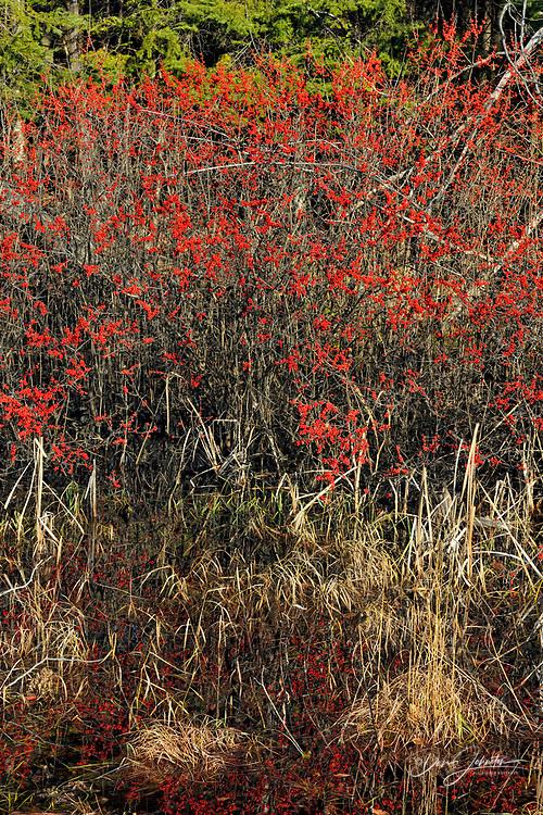 Highbush cranberry fruits, Seney, Michigan, USA