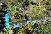 Vegetables and salad crops growing raised beds allotment garden, Shottisham, Suffolk, England, UK