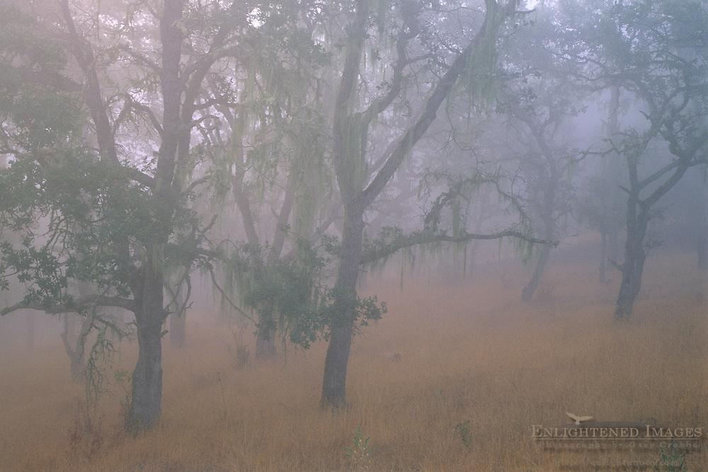 Oak trees in fog, Cachaqua Road, above Carmel Valley, Monterey County, California