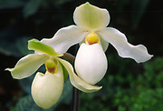 Close-up of two white slipper orchids (Paphilopedilum 'Deperle', growing in a hothouse in Kew Gardens, Surrey