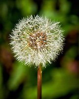 Dandelion seeds. Backyard spring nature in New Jersey. Image taken with a Fuji X-T1 camera and 100-400 mm OS lens (ISO 200, 400 mm, f/8, 1/250 sec).