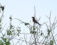 American Robin. Image taken with a Nikon D3x camera and 500 mm f/4 VR lens.