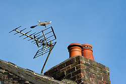 A collared dove launches into flight from a tv aerial on a cottage roof, Staffordshire, England, UK.<br /> Photo: Ed Maynard<br /> 07976 239803<br /> www.edmaynard.com