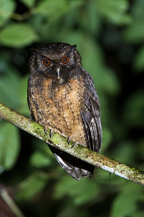 Tawny-bellied Screech-owl (Megascops watsonii)<br /> Yasuni National Park, Amazon Rainforest<br /> ECUADOR. South America<br /> HABITAT & RANGE: Subtropical or tropical moist lowland forests and subtropical or tropical swamps of Bolivia, Brazil, Colombia, Ecuador, Guianas, Venezuela and Peru.