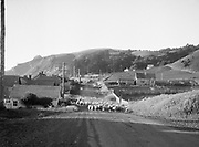 9102-10. sheep crossing highway at Roads End Beach in Lincoln City, Oregon. Photo taken before Logan road was paved.