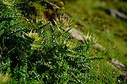 Spiniest Thistle (Cirsium spinosissimum) High Tauern National Park (Nationalpark Hohe Tauern), Central Eastern Alps, Austria |  Alpen-Kratzdistel (Cirsium spinosissimum) Nationalpark Hohe Tauern, Osttirol in Österreich