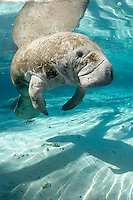 Florida manatee, Trichechus manatus latirostris, a subspecies of the West Indian manatee, endangered. An adult manatee floats near a warming blue freshwater spring and gazes at the viewer. Vertical orientation with reflection and shadows. Three Sisters Springs, Crystal River National Wildlife Refuge, Kings Bay, Crystal River, Citrus County, Florida USA.