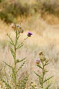 Beit Guvrin-Maresha National Park Alexanderoni's Thistle (Onopordum alexandrinum)