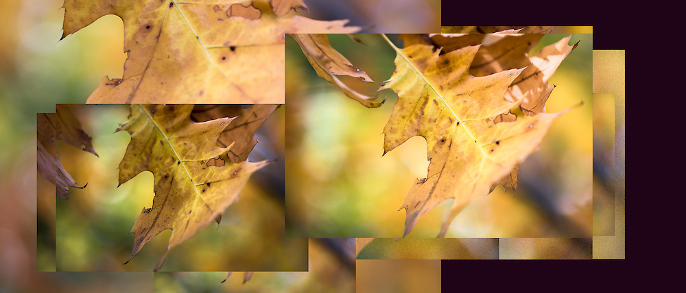 """These last few leaves flying with the wind and their surroundings render delightful sensual pleasure.<br /> Seen here is composite image of this lovely autumn oak leaf floating in the wind. Overlapping images take you on a journey with the uplifting movement of the leaf. For IMAGE LICENSING just click on the """"add to cart"""" button above or contact the artist.<br /> <br /> <br /> Fine Art archival paper prints for this image as well as canvas, metal and acrylic prints available here: http://pixels.com/featured/pleasures-of-autumn-julie-weber.html?newartwork=true"""