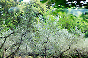Olive tree plantation soft focus abstract