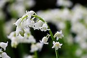White Bluebells, England