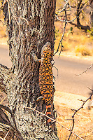 The venomous, yet slow-moving gila monster posing in the lower branches of a mesquite bush in the Senoran Desert, just outside of Tucson, Arizona. This was my forst time seeing one in the wild, and I actually delayed my travel plan to spend extra time looking for one of these.