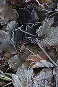 Frosted leaves<br /> *ADD TO CART FOR LICENSING OPTIONS*