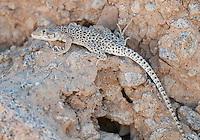 Long-nosed leopard lizard, Gambelia wislizenii, in Saline Valley, Death Valley National Park, California