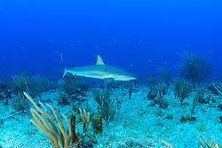 Carcharhinus perezi, Karibischer Riffhai in Kroallenriff, Caribbean reef shark in Coralreef, Insel Cooper, Britische Jungferninsel, Karibik, Karibisches Meer, Cooper Island, British Virgin Islands, BVI, Caribbean Sea