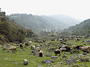 Sheep roaming freely in the remote Brokpa village of Sakteng, Eastern Bhutan. The Brokpa, the semi-nomads of the villages of Merak and Sakteng are said to have migrated to Bhutan a few centuries ago from the Tshona region of Southern Tibet. Thriving on rearing yaks and sheep, the Brokpas have maintained many of their unique traditions and customs.