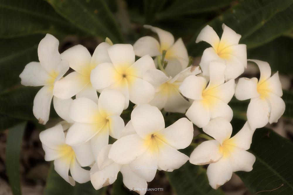Plumeria Blossoms in Los Angeles County Arboretum
