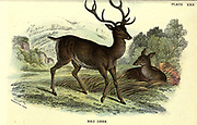 The red deer (Cervus elaphus) is one of the largest deer species. A male red deer is called a stag or hart, and a female is called a hind. The red deer inhabits most of Europe, From the book ' A hand-book to the British mammalia ' by  Richard Lydekker, 1849-1915  Published in London, by Edward Lloyd in 1896
