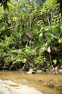 A forest stream in the El Yunque National Forest.