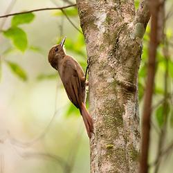Encontramos este arapaçu-liso em Santa Teresa-ES. Esta ave se alimenta principalmente de uma grande variedade de artrópodes, porém, pode eventualmente, capturar outros tipos de presas. O arapaçu-liso frequentemente é encontrado seguindo formigas-correição.