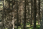 a dence natural pine wood forest during summer time