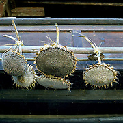 Sunflower heads dry in the sun outside a Miao/Hmong house in Le Li village, Yunnan Province, China. The seeds are a popular snack all over China.