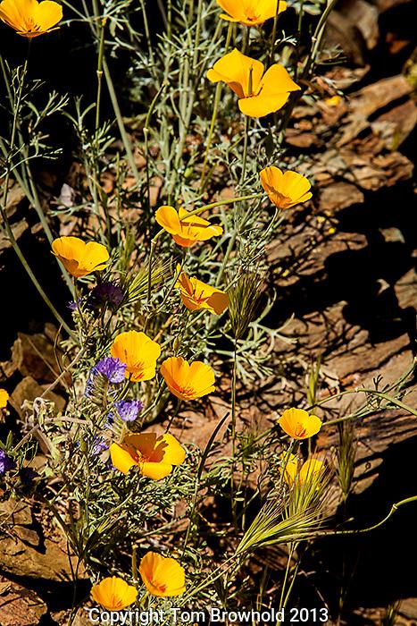 Poppies in the Sonora Desert. The smal pruple/blue flower is phacelia.
