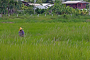 Thailand woman working in a rice paddy