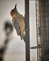 Female Red-bellied Woodpecker. Image taken with a Nikon D5 camera and 600 mm f/4 VRII lens (ISO 1250, 600 mm, f/4, 1/1250 sec)