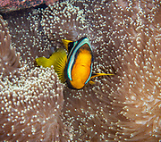 Clark's anemonefish, (Amphiprion clarkii)  known commonly as yellowtail clownfish, is a marine fish belonging to the family Pomacentridae, the clownfishes and damselfishes. They form symbiotic mutualisms with sea anemones at Lilua's Reef, Papua New Guinea
