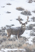 Mule deer buck during autumn rut in Wyoming with falling snow