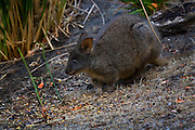 "Tasmanian Pademelon also known as the Rufous-bellied Pademelon or Red-bellied Pademelon, it's the only endemic pademelon to Tasmania. It's like a small kangaroo or wallaby - and they're very cute, kinda chunky and chubby.....This one is wild, but feeding in a garden at dusk, on the Tasman Peninsula. I've had them ""pad"" up to me in the dark and giving me a curious look before bouncing off again.."