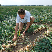 Nederland Rhoon 20 augustus 2009 20090820 Foto: David Rozing ..Serie over levensmiddelensector                                                                                    .Een boer sorteert toont uien op het land.A farmer sorting out showing onions..Foto: David Rozing