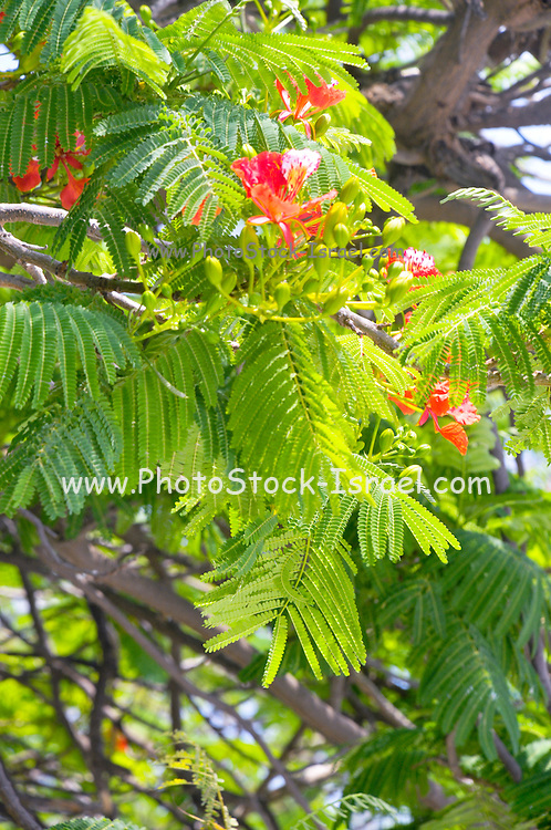 Red flowers on a Delonix regia an ornamental tree Common names include Royal Poinciana, Flamboyant, Krishnachura, Gulmohar, Peacock Flower, Flame of the Forest, Malinche, and Flame tree.