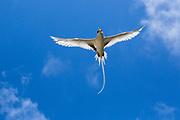 White-tailed tropicbird (Phaethon lepturus) in flight. Photographed on Bird Island, Seychelles.