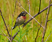 Rose-breasted Grosbeak (Pheucticus ludovicianus). Sourland Mountain Preserve. Image taken with a Nikon D300 camera and 18-200 mm VR lens.