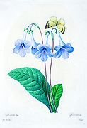 19th-century hand painted Engraving illustration of a Gloxinia flower, Gloxinia is a genus of three species of tropical rhizomatous herbs in the flowering plant family Gesneriaceae by Pierre-Joseph Redoute. Published in Choix Des Plus Belles Fleurs, Paris (1827). by Redouté, Pierre Joseph, 1759-1840.; Chapuis, Jean Baptiste.; Ernest Panckoucke.; Langois, Dr.; Bessin, R.; Victor, fl. ca. 1820-1850.