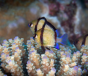 Dascyllus reticulatus, two-stripe damselfish among other vernacular names, is a species of marine fish in the family Pomacentridae. Reticulate dascyllus is widespread throughout the tropical waters of the central Indo-Pacific region