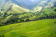 Cows grazing in the green meadows at the Cocora valley near Salento, Colombia. Wax palm trees in the background
