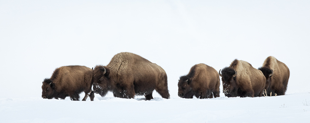 Bison bison, Yellowstone NP, February 2021<br /> with calf