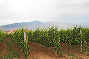 Vineyard. Alpha Estate Winery, Amyndeon, Macedonia, Greece
