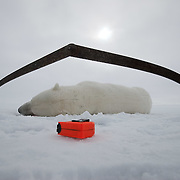 A polar bear (Ursus maritimus) lies immobilized on the ice pack of the Beaufort Sea framed by calipers used to take it's measurements. Kaktovik, Alaska.