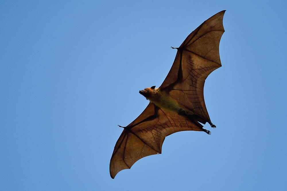 Indian flying fox or Greater Indian fruit bat, Pteropus giganteus, in Kanha National Park and Tiger Reserve, Madhya Pradesh, India
