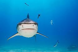 Tiger Shark, Galeocerdo cuvier, West End, Grand Bahama, Bahamas, Caribbean, Atlantic Ocean
