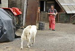 24.04.2010, Karlovac, Kroatien, CRO, Hündin zieht Schweine auf, Der drei jährige Hund Kana zieht seit eineinhalb Monaten im kroatischen Karlovac zwei kleine Scheinchen, Beti und Vilma auf. Er lässt die Schweinchen an den Zitzen trinken und sorgt sich komplett um Sie, EXPA Pictures © 2010, PhotoCredit: EXPA/ nordphoto/ Andreja Thomas / SPORTIDA PHOTO AGENCY