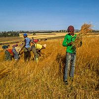 Long Day Harvesting Grains by Fatuma Nurade