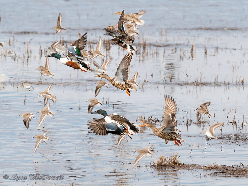 Colors of Northern Shoveler duck and sandpiper taking off from the water at Bombay Hook NWR