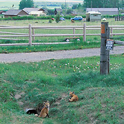 Red Fox, (Vulpus fulva) young kits near entrance to den in culvert in suburbs of town. Summer.